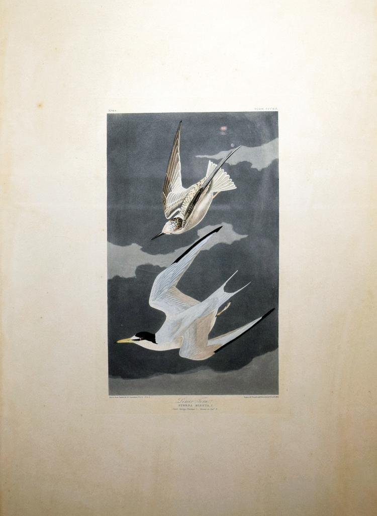 Audubon Aquatint Engraving, Lesser Tern