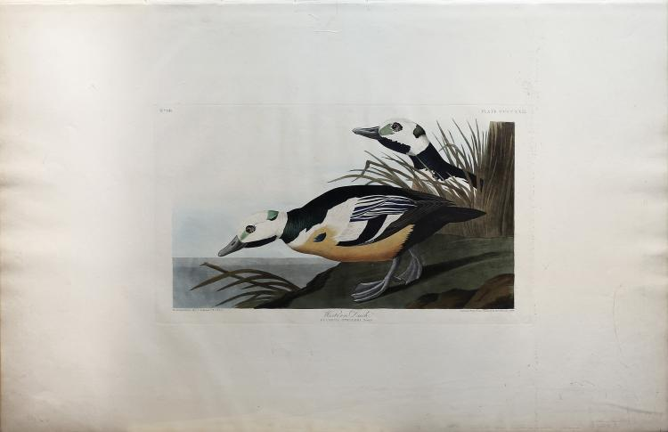 Audubon Aquatint Engraving, Western Duck