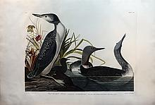 Audubon Aquatint Engraving, Red-Throated Diver