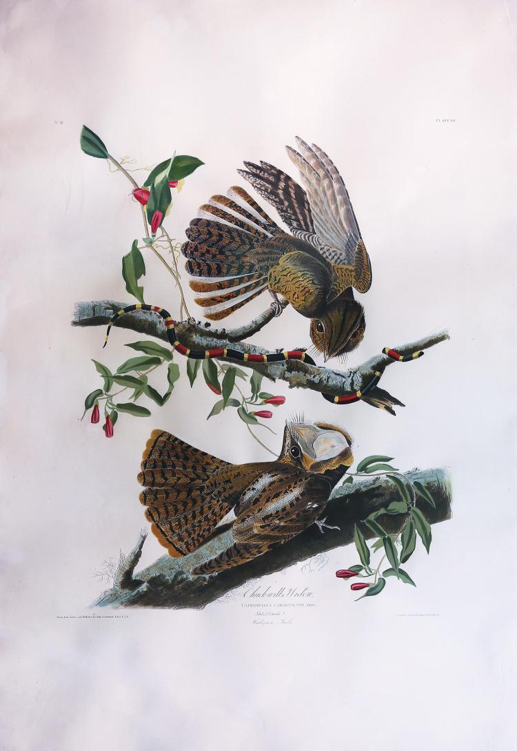 Audubon Aquatint Engraving, Chuck-Will's Widow