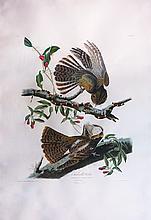 Audubon Aquatint Engraving, Chuck-Will's Widow