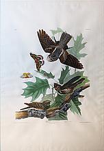 Audubon Aquatint Engraving, Whip-Poor-Will