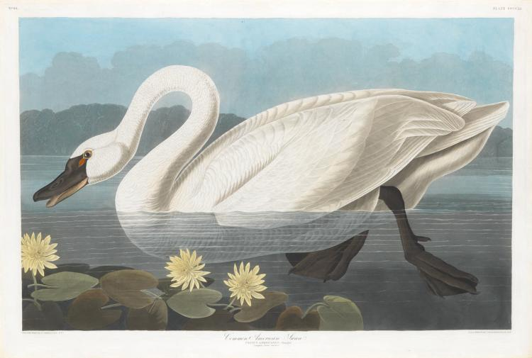 Audubon Aquatint Engraving, Common American Swan
