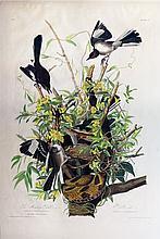 Audubon Aquatint Engraving, Mockingbird