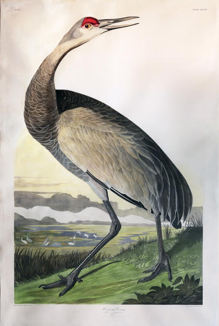 Audubon Aquatint Engraving, Hooping Crane