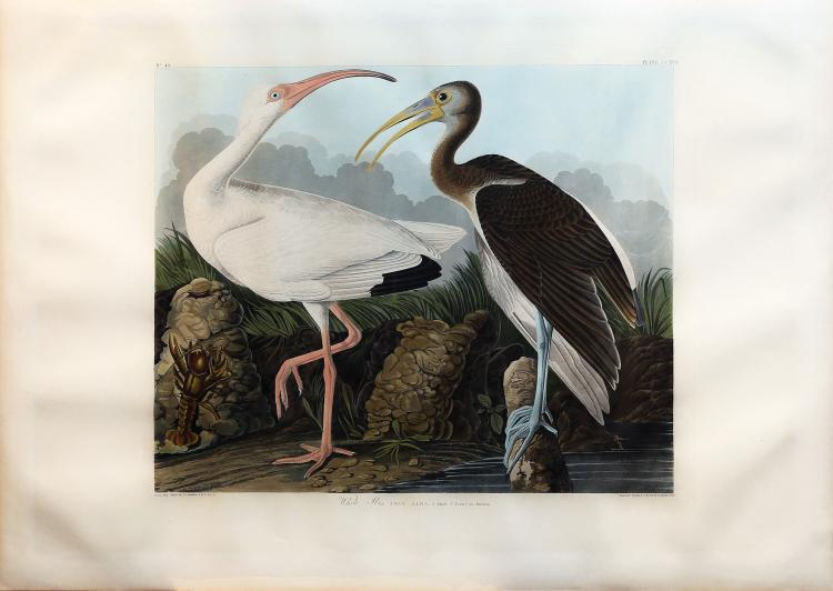 Audubon Aquatint Engraving, White Ibis