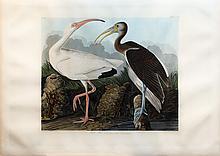 Audubon Aquatint Engraving, White Ibis