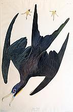 Audubon Aquatint Engraving, Frigate Pelican