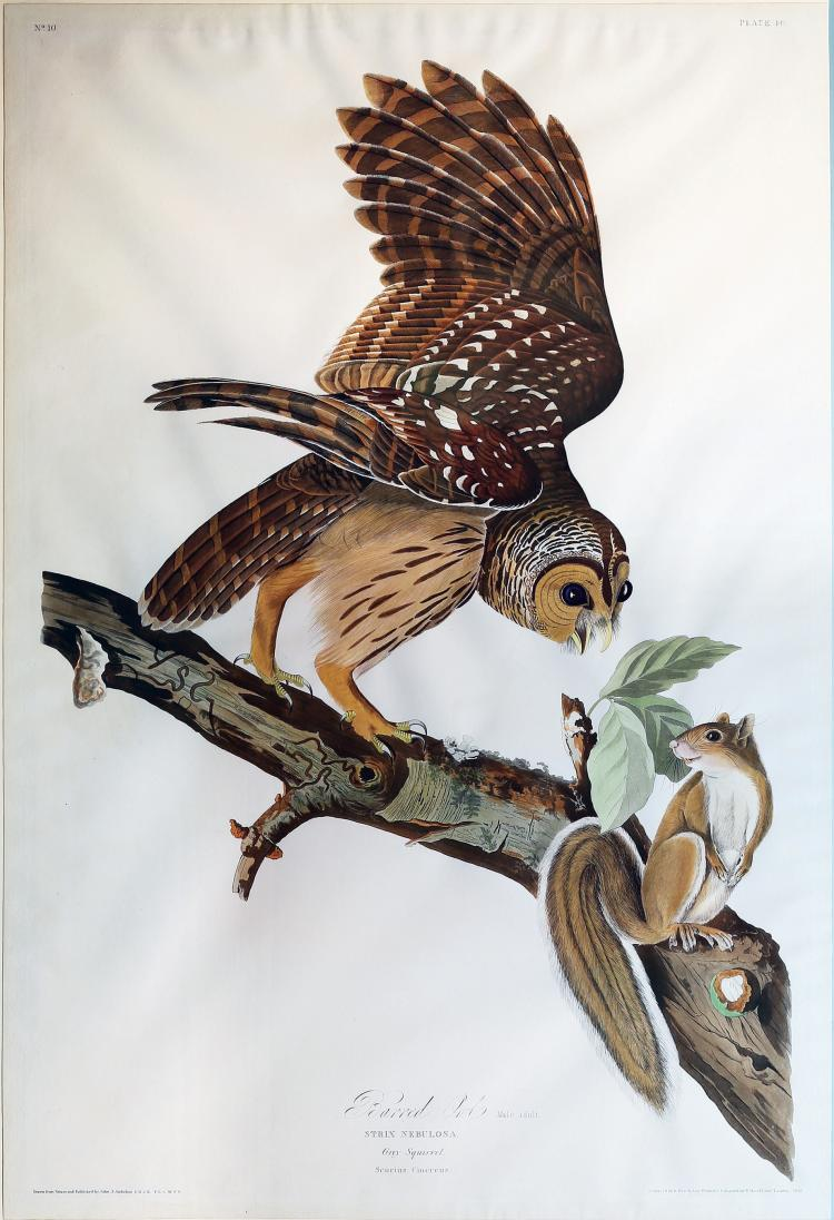 Audubon Aquatint Engraving, Barred Owl