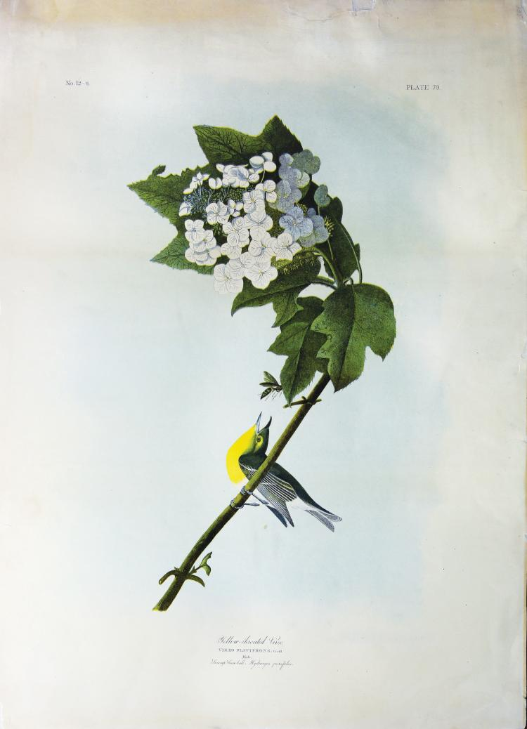 Audubon Bien Chromolithograph, Yellow-Throated Vireo