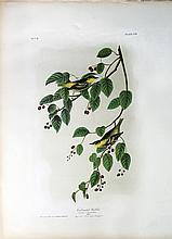 Audubon Bien Chromolithograph, Carbonated Warbler