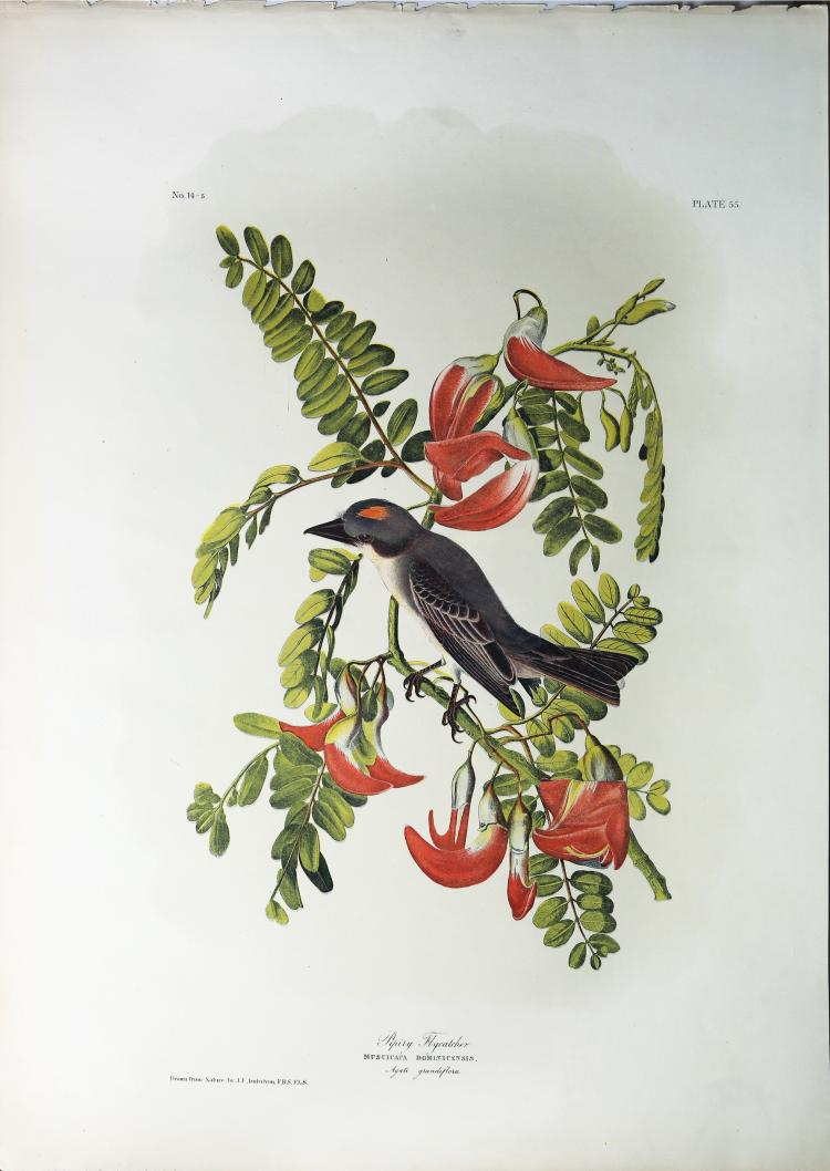 Audubon Bien Chromolithograph, Pipiry Flycatcher