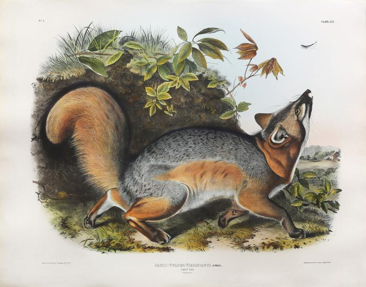 Audubon Quadrupeds, Imperial Folio, Grey Fox