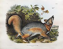 Audubon Quadrupeds, Imperial Folio, Grey Fox