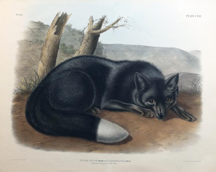 Audubon Quadrupeds, Imperial Folio, Silver Fox