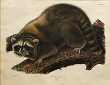 Audubon Quadrupeds, Imperial Folio, Raccoon