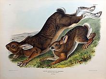Audubon Quadrupeds, Imperial Folio, Northern Hare