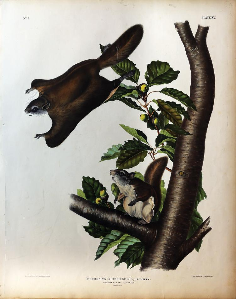 Audubon Quadrupeds, Imperial Folio, Oregon Flying Squirrel