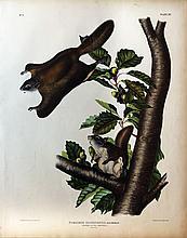 Audubon Quadrupeds, Imperial Folio, Oregon Flying Squirrel