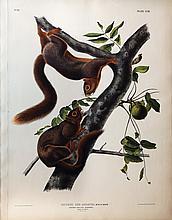 Audubon Quadrupeds, Imperial Folio, Orange-Bellied Squirrel