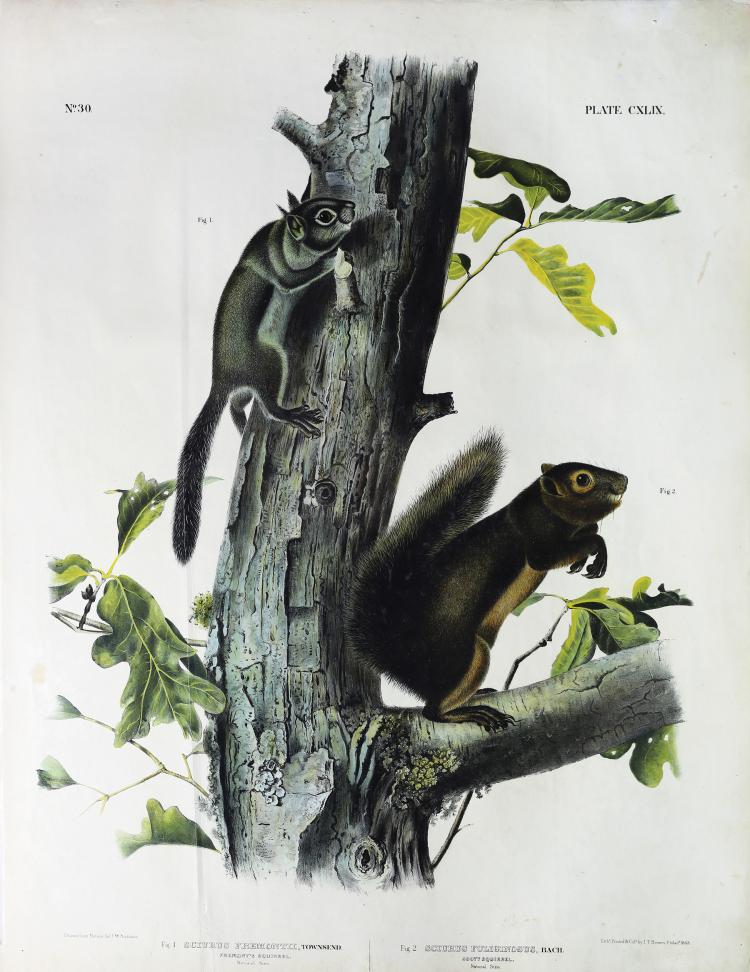 Audubon Quadrupeds, Imperial Folio, Fremont's Squirrel/Sooty Squirrel