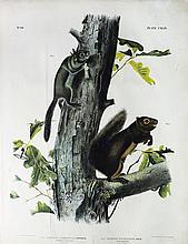 Audubon Quadrupeds, Imperial Folio, Fremont's Squirrel/Sooty Squirrel