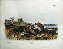 Audubon Quadrupeds, Imperial Folio, Cotton Rat