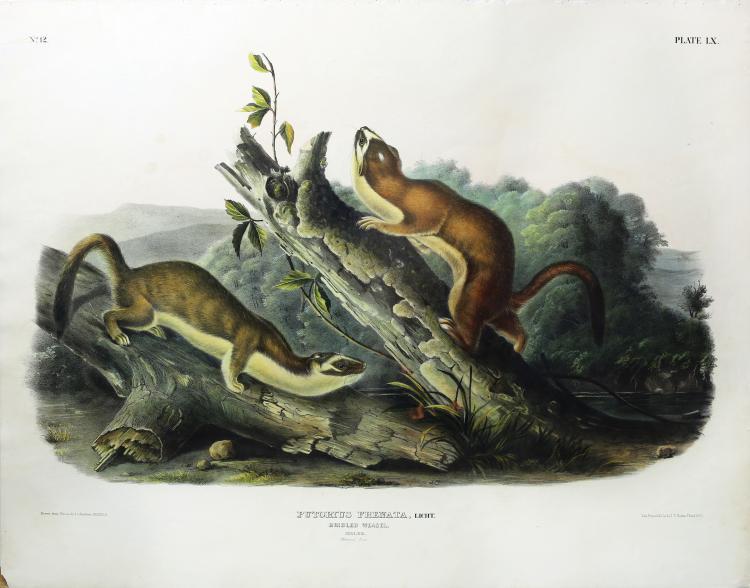 Audubon Quadrupeds, Imperial Folio, Bridled Weasel
