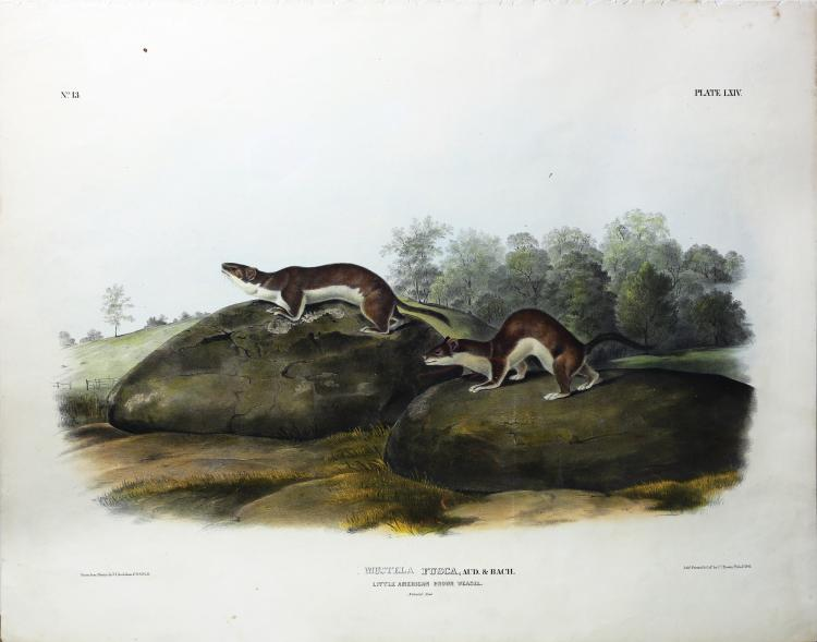 Audubon Quadrupeds, Imperial Folio, Little American Brown Weasel