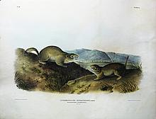 Audubon Quadrupeds, Imperial Folio, Richardson's Spermophile