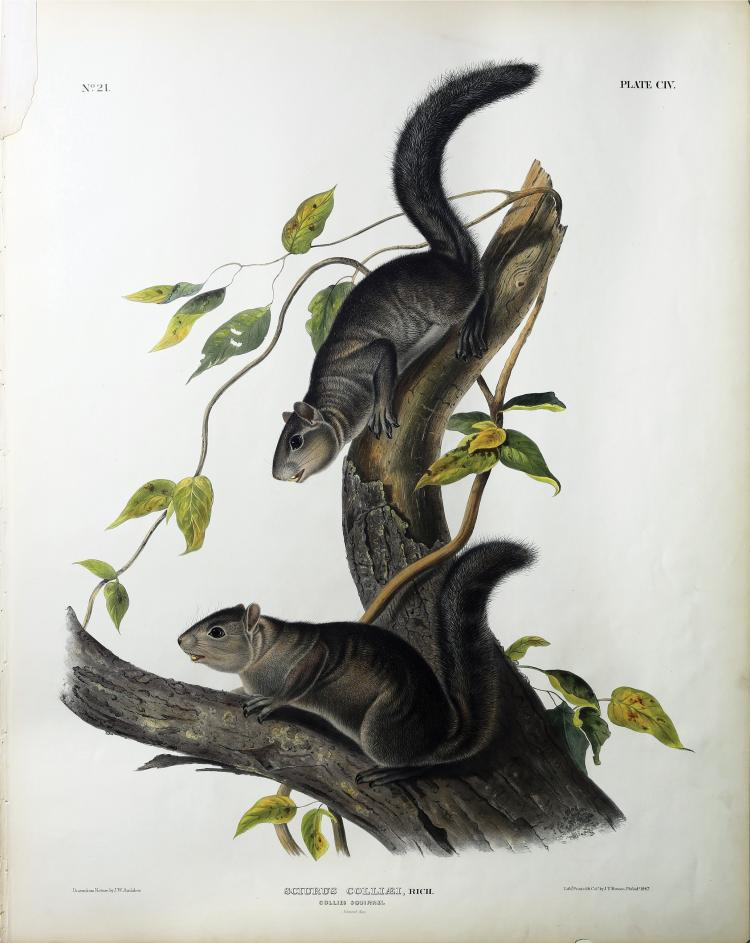Audubon Quadrupeds, Imperial Folio, Collies Squirrel