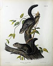 Audubon Quadrupeds, Imperial Folio, Collies Squirrel