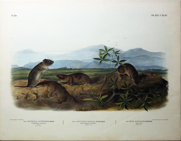 Audubon Quadrupeds, Imperial Folio, Townsend's Aruicola/Sharp-Nosed Aruicola/Bank Rat