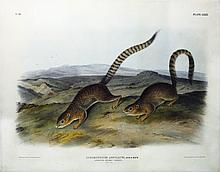 Audubon Quadrupeds, Imperial Folio, Annulated Marmot Squirrel