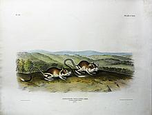 Audubon Quadrupeds, Imperial Folio, Pouched Jerboa Mouse