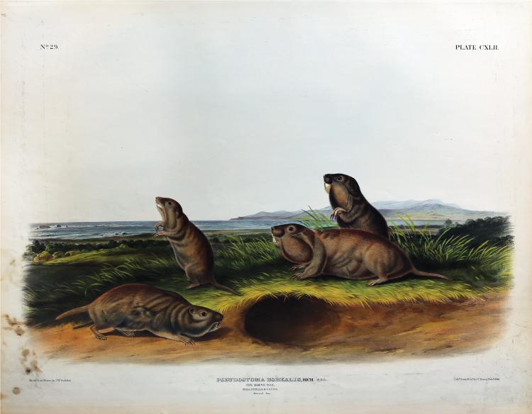 Audubon Quadrupeds, Imperial Folio, Camas Rat