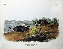 Audubon Quadrupeds, Imperial Folio, Mole-Shaped Pouched Rat