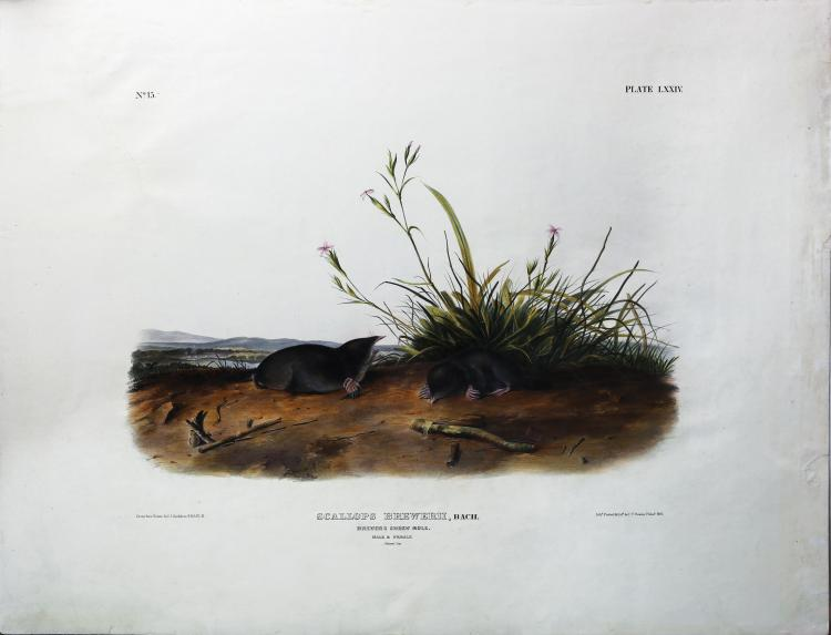 Audubon Quadrupeds, Imperial Folio, Brewer's Shrew Mole