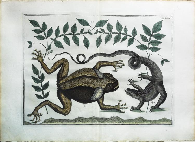 Engaging and exotic hand colored engravings by Albert Seba