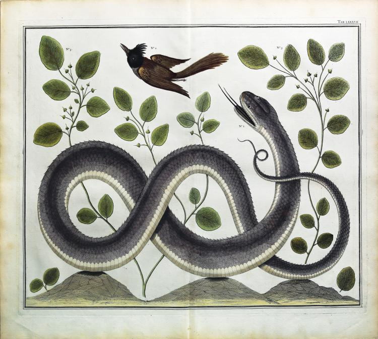 Engaging and exotic hand colored engravings by Albert Seba