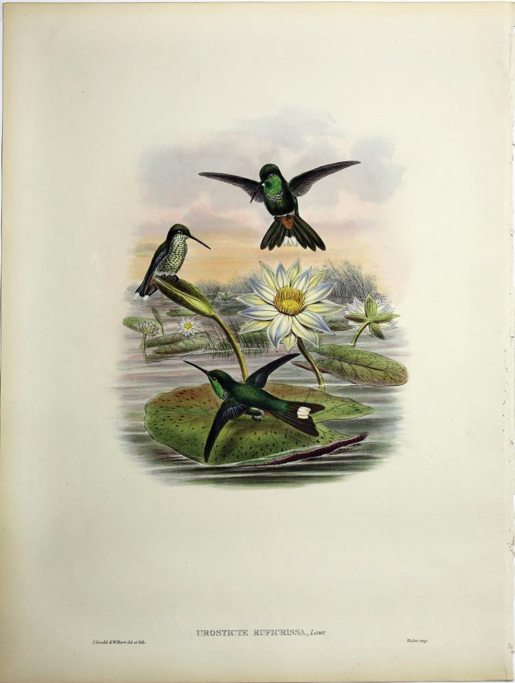 Beautiful Hand Colored Lithographs of Hummingbirds by Gould