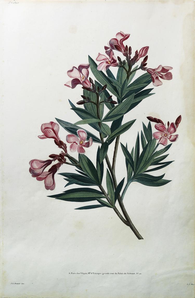 Oleander by Jean Louis Prevost