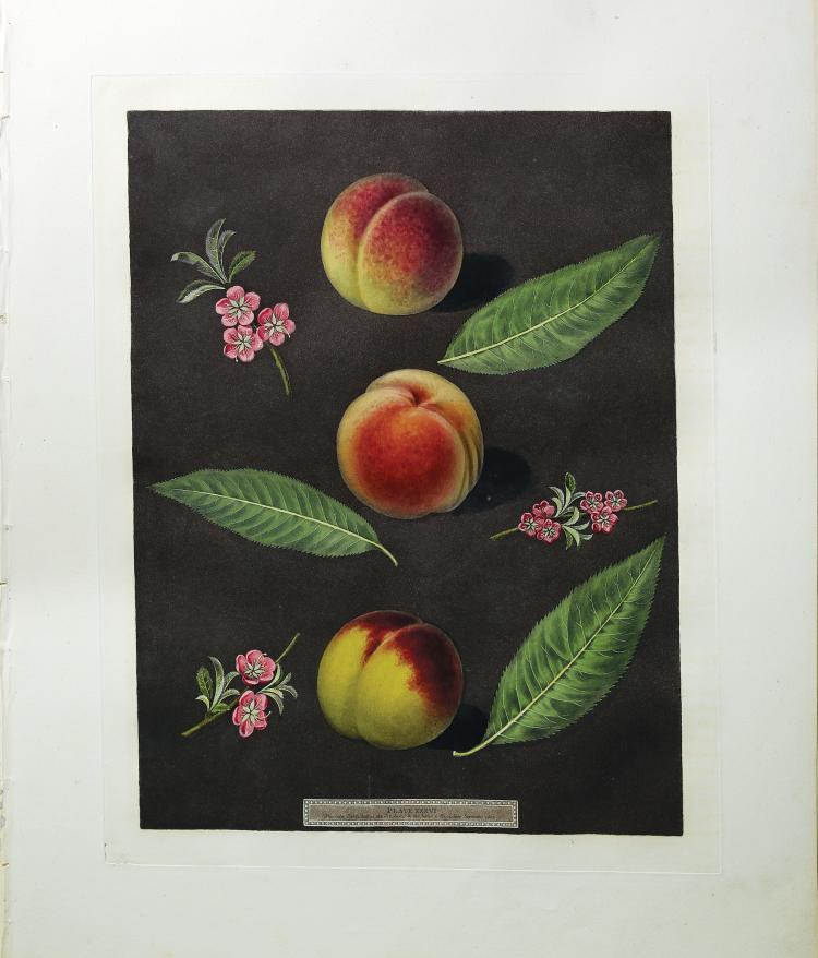 Peaches from Brookshaw's Pomona Britannica