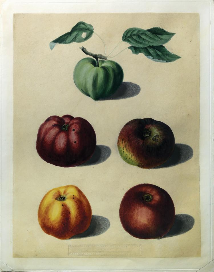 Apples from Brookshaw's Pomona Britannica