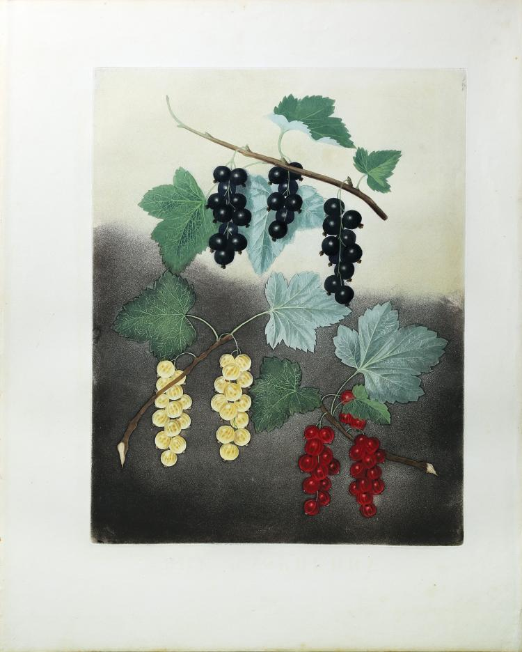 The Currant from Brookshaw's Pomona Britannica