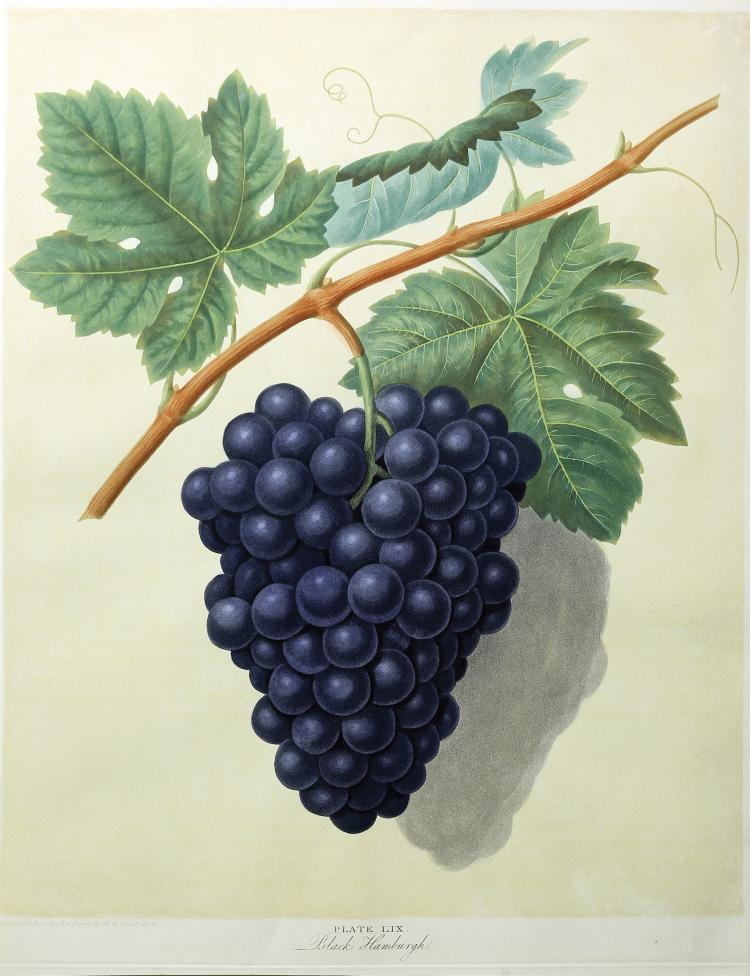 Grapes from Brookshaw's Pomona Britannica