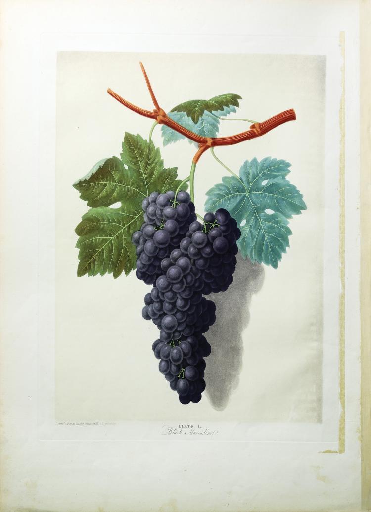 Grapes from Brookshaw's Pomona Britannica
