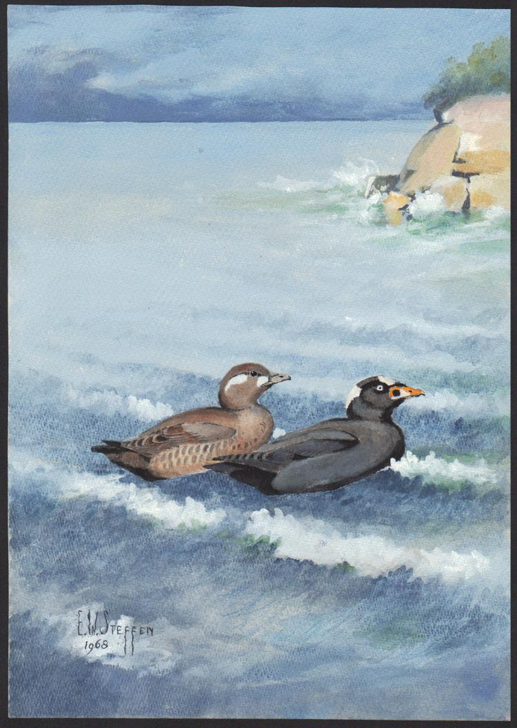 Steffen Watercolor of Surf Scoter Duck