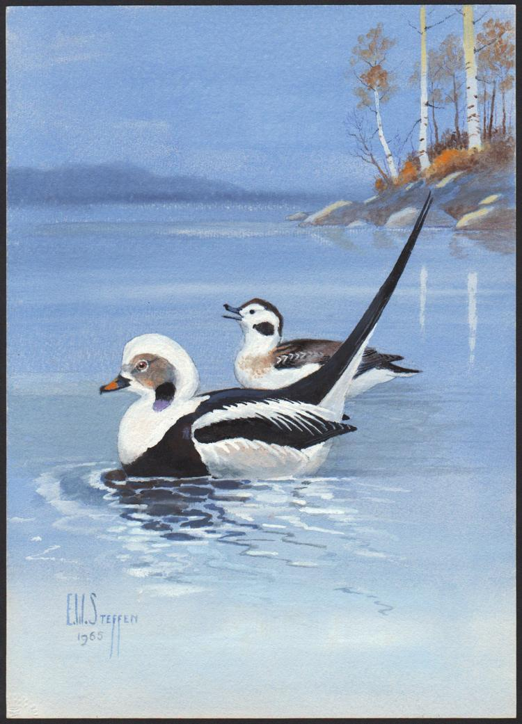 Steffen Watercolor of Old Squaw Duck