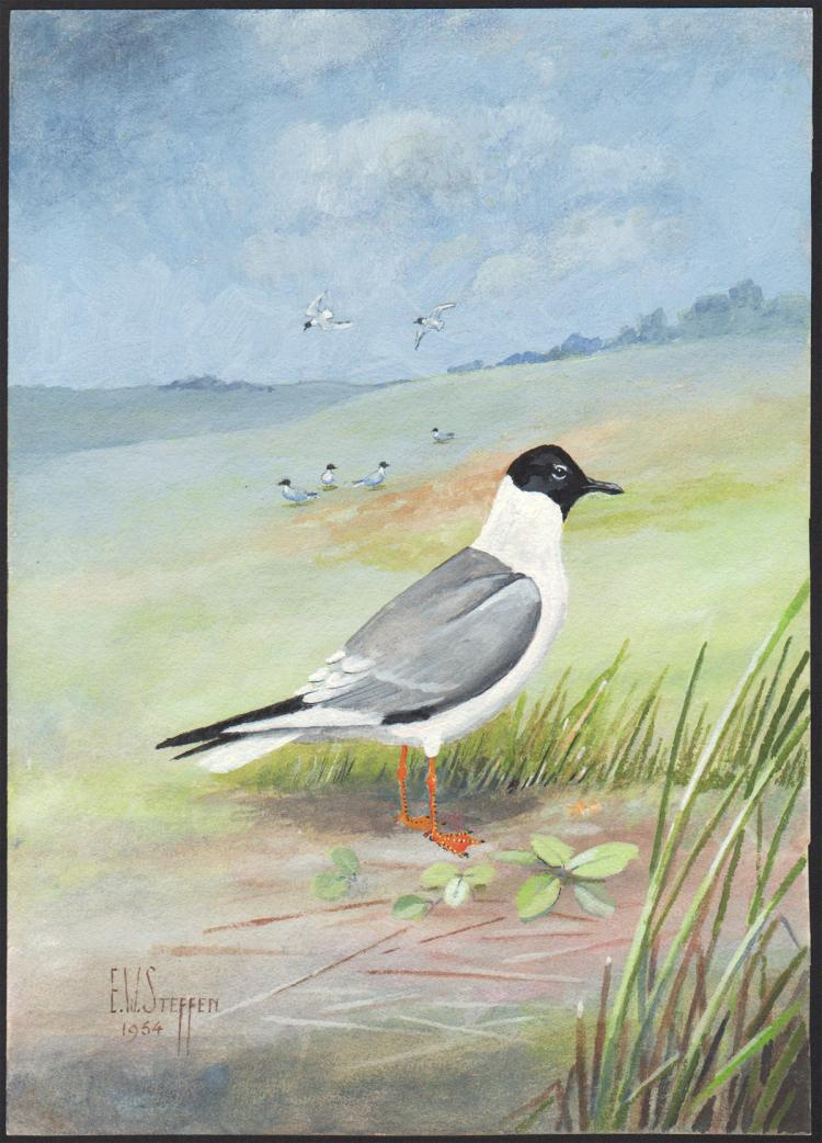 Steffen Watercolor of Bonapartes Gull